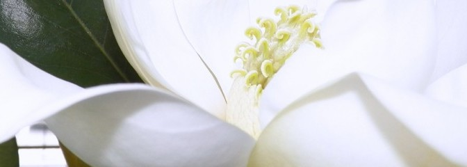cropped-magnolia.jpg